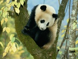 A Juvenile Giant Panda Photographic Print by Lu Zhi