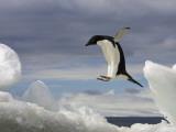 An Adelie Penguin, Pygoscelis Adeliae, Jumping on an Iceberg Fotografisk tryk af Ralph Lee Hopkins