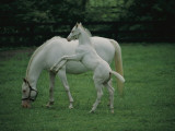 A Pure White Thoroughbred Mare and Her Foal Photographic Print by Melissa Farlow