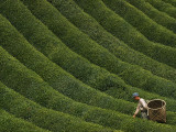 A Farmer Picks the Year's First Tea Crop from Waves of Green Photographic Print by George F. Mobley