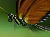 A Close Up of a Tiger Mimic Butterfly, Tithorea Harmonia Photographic Print by Raul Touzon