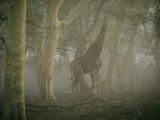 A Giraffe Walking in a Misty Forest in the Ndumu Game Reserve Fotografisk tryk af Chris Johns