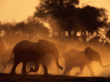 A Group of African Elephants, Loxodonta Africana, Stir Up Dust Clouds Photographic Print by Beverly Joubert