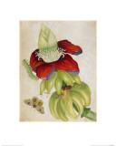 Plant Giclee Print by Maria Sibylla Merian