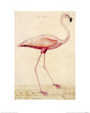 Greater Flamingo Reproduction proc&#233;d&#233; gicl&#233;e par John White