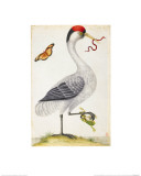 White Bird, with Red and Black Crest, a Snake in its Mouth Giclee Print by Maria Sibylla Merian