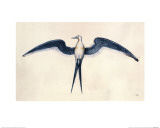 Frigate Bird Giclee Print by John White