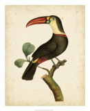 Nodder Tropical Bird III Print by Frederick P. Nodder