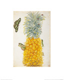 Pineapple Giclee Print by Maria Sibylla Merian