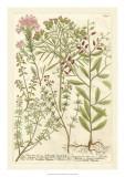 Weinmann's Garden I Giclee Print by Johann Wilhelm Weinmann