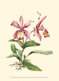 Pink Cattleya Orchid Art by Joy Waldman