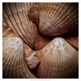 Macro Shells VI Prints by Rachel Perry