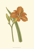 Lily Varieties I Poster by Samuel Curtis
