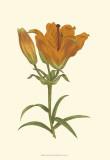 Lily Varieties III Print by Samuel Curtis