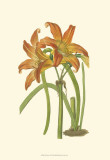 Lily Varieties IV Prints by Samuel Curtis