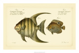 Antique Fish VI Giclee Print by Marcus Elieser Bloch