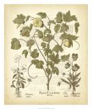 Tinted Besler Botanical IV Art by Besler Basilius