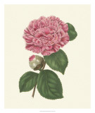 Summer Blush I Giclee Print by Edwin Dalton Smith