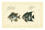 Antique Fish II Giclee Print by Marcus Elieser Bloch
