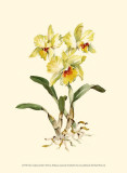 Yellow Cattleya Orchid Posters by Joy Waldman