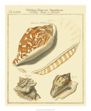 Antique Martini Shells III Giclee Print by W. Martini