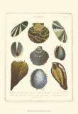 Conchology Collection I Prints by George Wolfgang Knorr