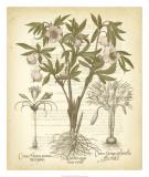 Tinted Besler Botanical I Giclee Print by Besler Basilius
