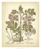 Tinted Besler Botanical III Posters by Besler Basilius
