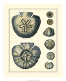 Antique Blue Sanddollar Giclee Print