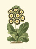 Antique Primula III Prints