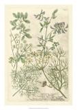 Weinmann's Garden IV Prints by Johann Weinmann