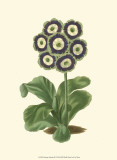 Antique Primula II Affiche
