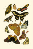 Yellow Butterfly Study Poster