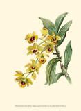Dendrobium Orchid Prints by Joy Waldman