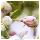 Apple Blossom I Posters
