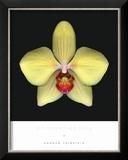 Phalaenoposis Posters by Harold Feinstein