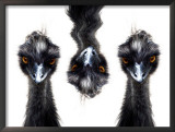 Three Emus Framed Photographic Print by Images Monsoon