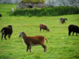 Soay Sheep Grazing in the Abandonded Village of Hirta Photographic Print by Jim Richardson