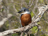 Ringed Kingfisher Perched on a Tree Branch, Pantanal, Brazil Photographic Print by Roy Toft