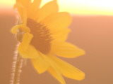 Close Up of Plains Sunflower Shot in Late Afternoon in the Grasslands Photographic Print by Phil Schermeister