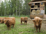 Scottish Highland Cattle Outside a Barn with Hay Photographic Print by Rich Reid