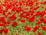 Richard Nowitz - A Field of Poppies - Fotografik Baskı