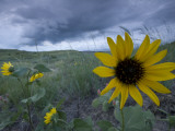 Plains Sunflowers in the Grasslands are Threatened by Stormclouds Papier Photo par Phil Schermeister