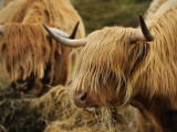 Highland Cattle Feeding in a Pasture Photographic Print by Jim Richardson