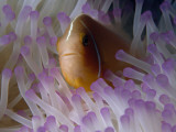 A Pink Anemonefish Seeks Shelter Among the Tentacles of a Sea Anemone Fotografisk tryk af Tim Laman