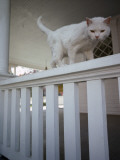 A White Cat on a White Porch Railing Photographic Print by Jodi Cobb