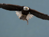 American Bald Eagle in Flight with a Fresh Kill in Talons Photographic Print by Roy Toft