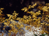 Looking Glass Creek Rushing Past a Bush in Autumn Colors Photographic Print by Raymond Gehman