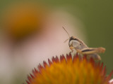 Magnification of a Grasshopper Sitting on a Purple Coneflower Plant Lámina fotográfica por Phil Schermeister