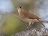A Rufous Hornero, Furnarius Rufus, Perched on a Tree Branch Photographie par Roy Toft